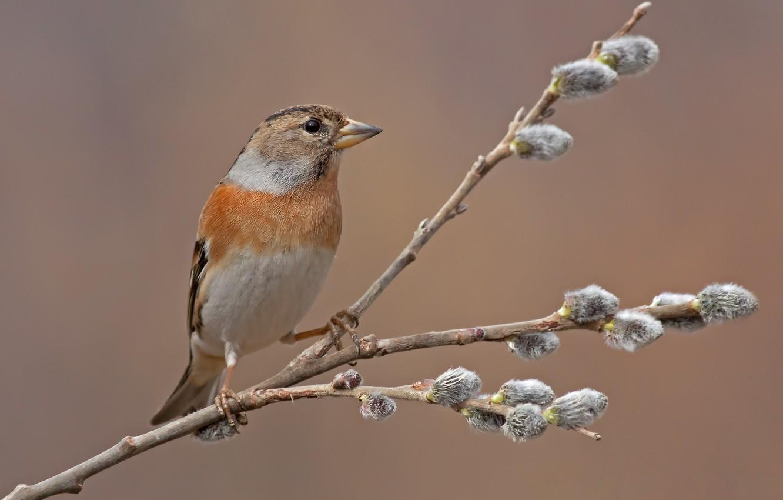 Фото обои птица, ветка, весна, почки