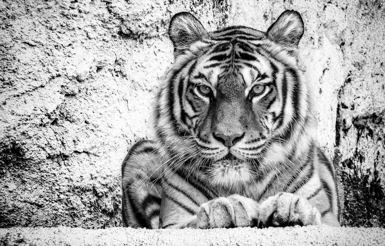 Черно-белые тигры картинки