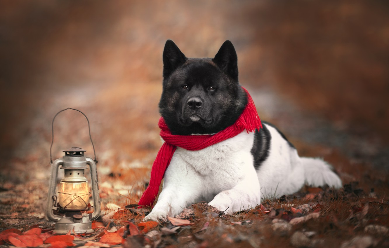 Фото обои осень, природа, животное, собака, шарф, фонарь, пёс, акита-ину
