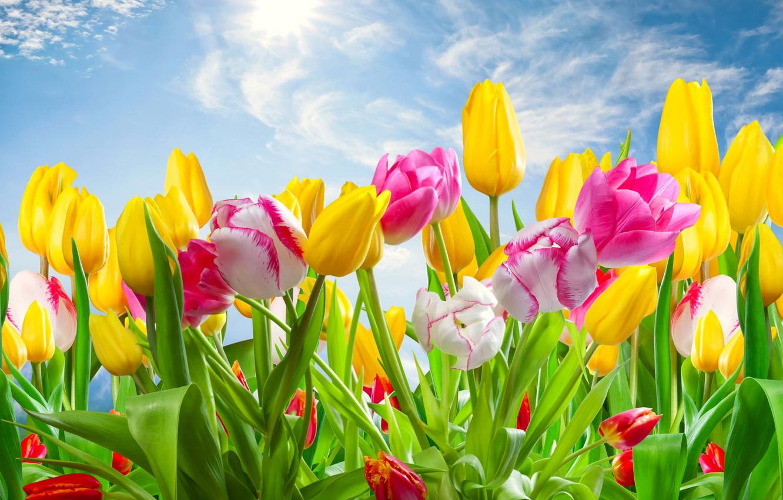 Фото обои небо, весна, тюльпаны