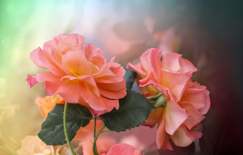 Фото обои листья, цветы, природа, розы