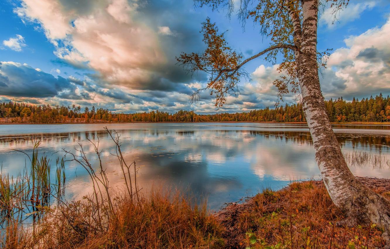 Фото обои осень, листья, озеро, дерево, берег, листва, береза, водоем, осенняя