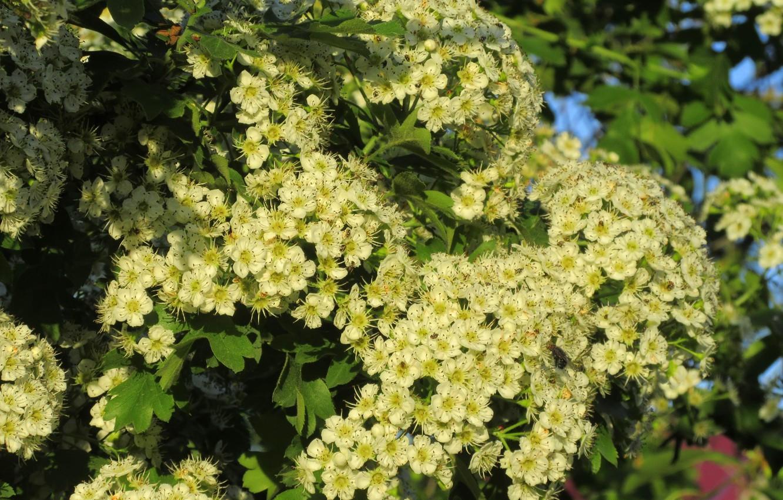 Фото обои цветы, дерево, куст, пышное цветение, весна 2018, Mamala ©