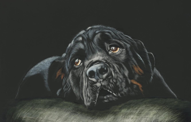 Фото обои взгляд, морда, собака, чёрный фон, rottweiler