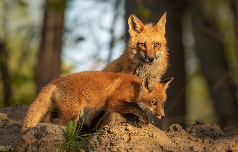 Обои лисёнок. Лисы foto 19
