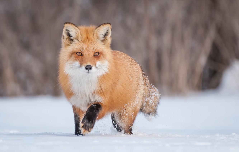 Фото обои зима, снег, лиса, рыжая
