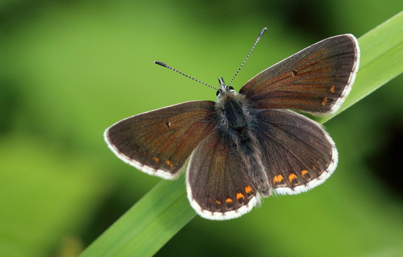 Фото обои макро, фон, бабочка, листок, растение, насекомое, крылышки, коричневая, травинка