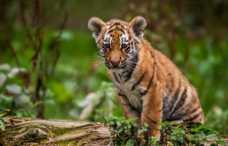 Фото обои тигр, детёныш, котёнок, боке, тигрёнок