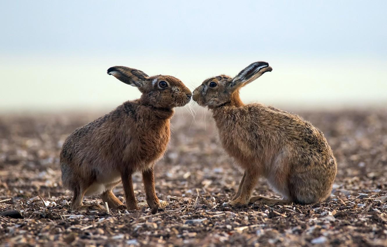 Фото обои природа, фон, зайцы