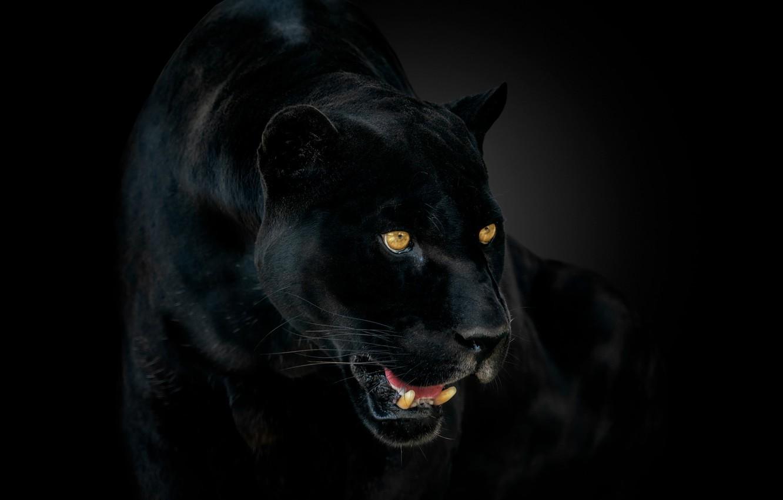 Фото обои глаза, пантера, клыки, ягуар, jaguar, eyes, panther, fangs