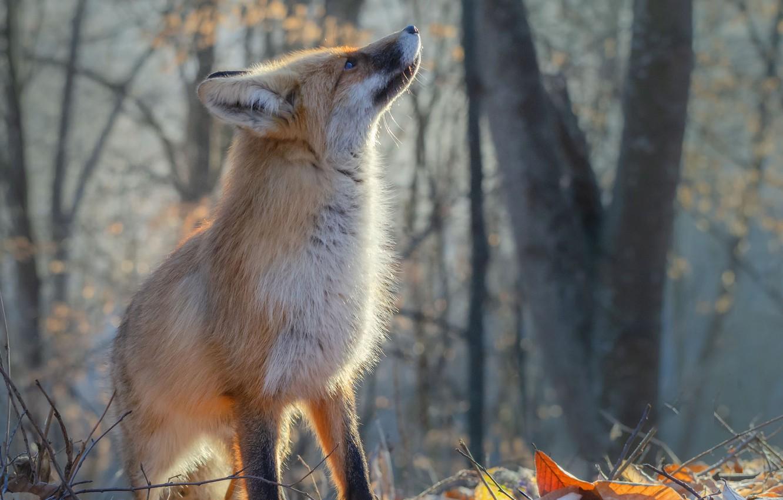 Фото обои осень, лиса, рыжая, Юрий Шевченко