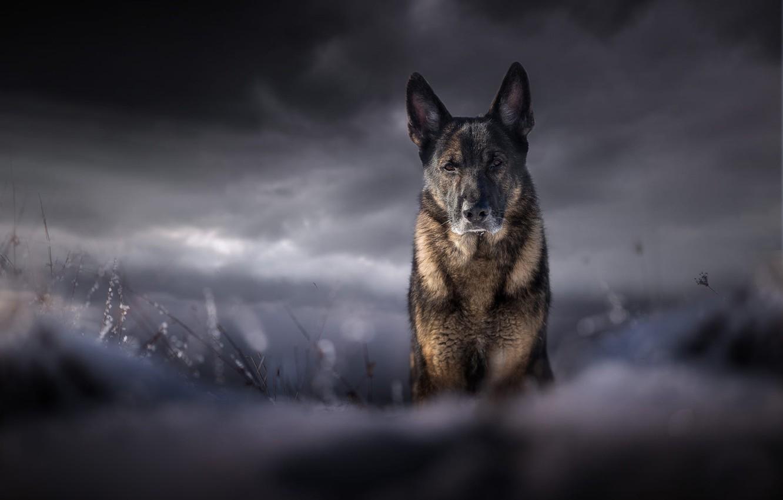 Фото обои поле, небо, взгляд, морда, облака, тучи, природа, поза, темный фон, фон, пасмурно, портрет, собака, серьезный, …