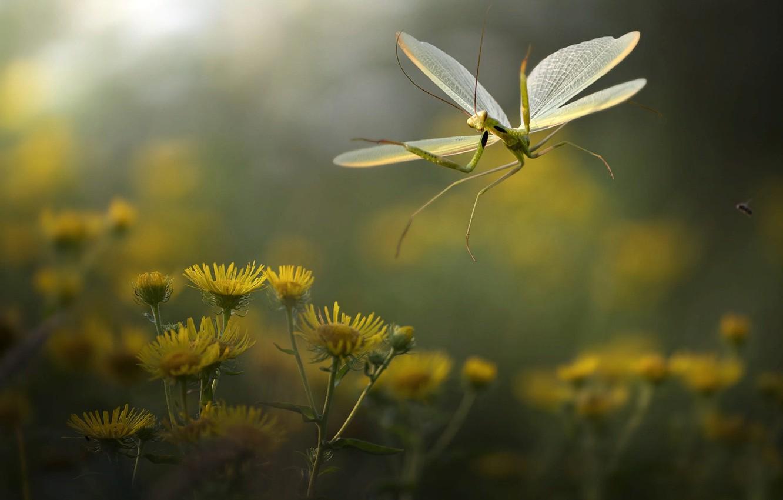 Фото обои макро, цветы, природа, богомол, насекомое, Roberto Aldrovandi