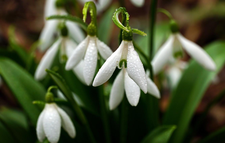 Фото обои вода, капли, макро, цветы, природа, весна, подснежники, первоцветы
