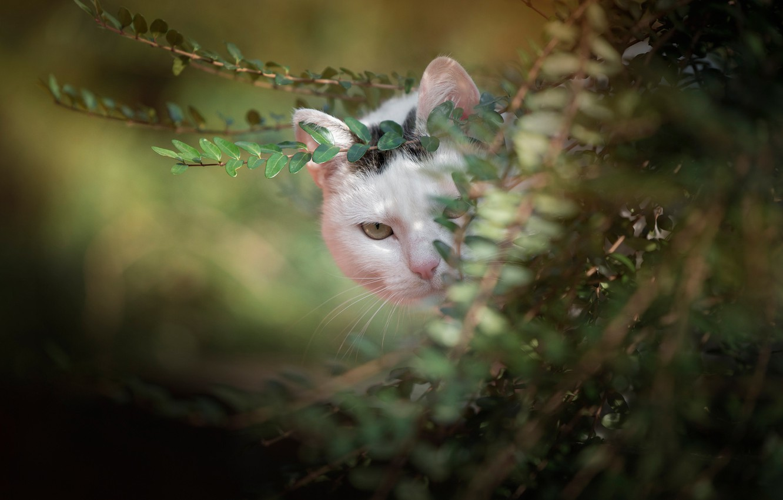 Фото обои зелень, кот, взгляд, ветки, мордочка, боке, котейка