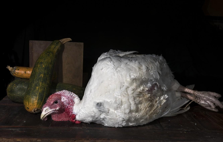 Фото обои фон, птица, индюк