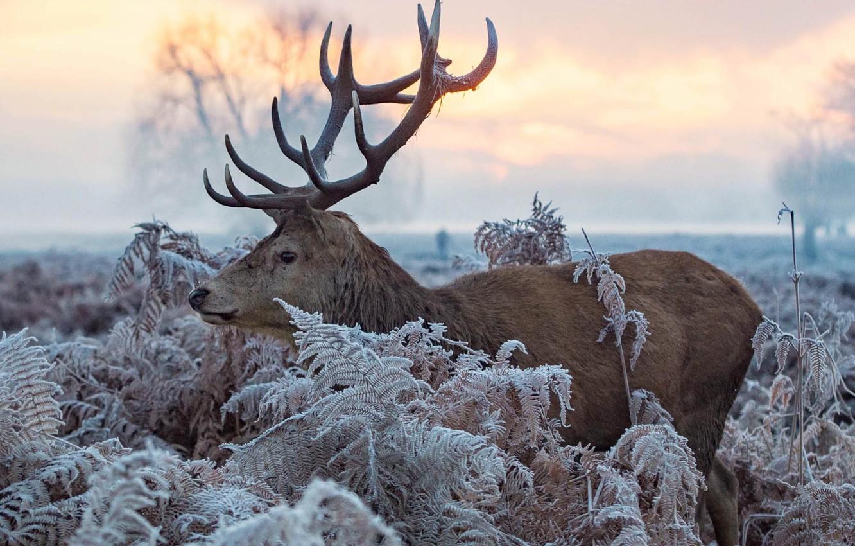 Фото обои зима, иней, листья, природа, животное, олень