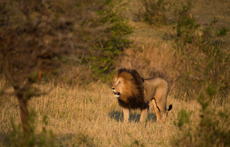 Фото обои поле, трава, взгляд, свет, деревья, ветки, природа, поза, хищник, лев, грива, саванна, прогулка, дикая кошка, ...