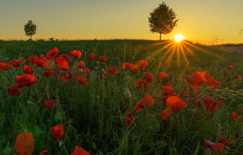 Фото обои зелень, поле, лето, небо, трава, солнце, лучи, свет, деревья, пейзаж, закат, цветы, поляна, мак, маки, …