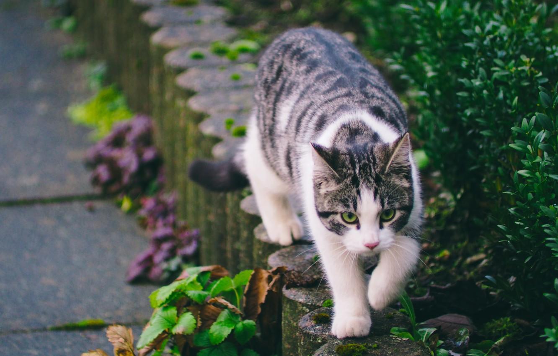 Фото обои зелень, кошка, улица, полосатая, гуляет