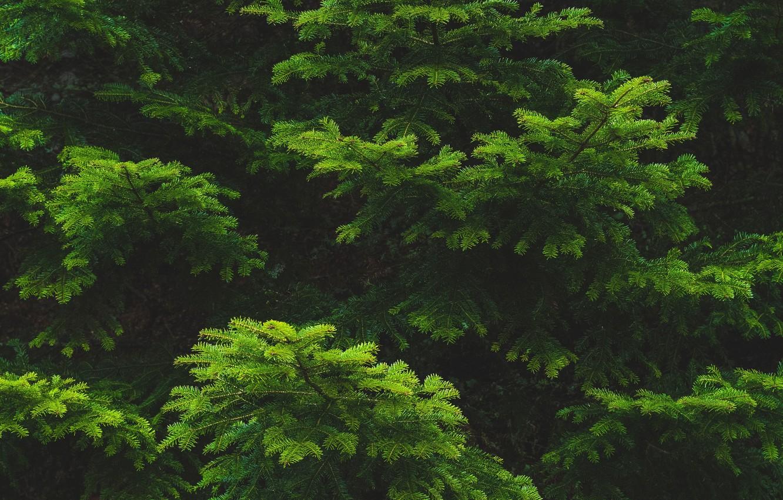 Фото обои иголки, ветки, ель, зелёная