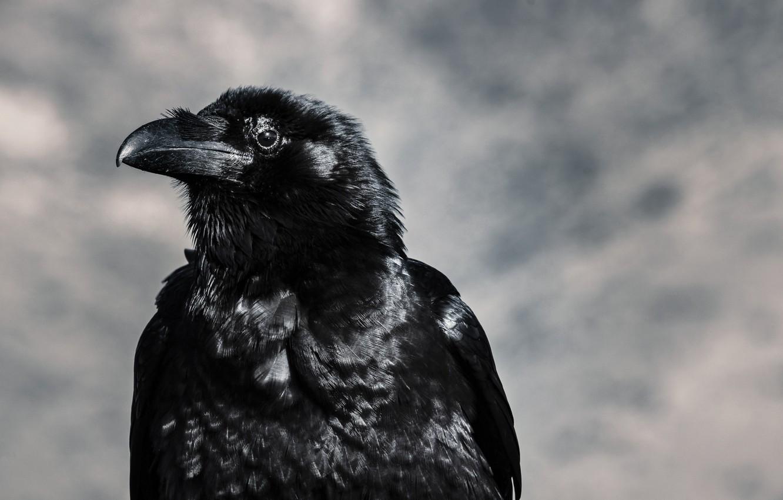 Фото обои птица, клюв, ворон