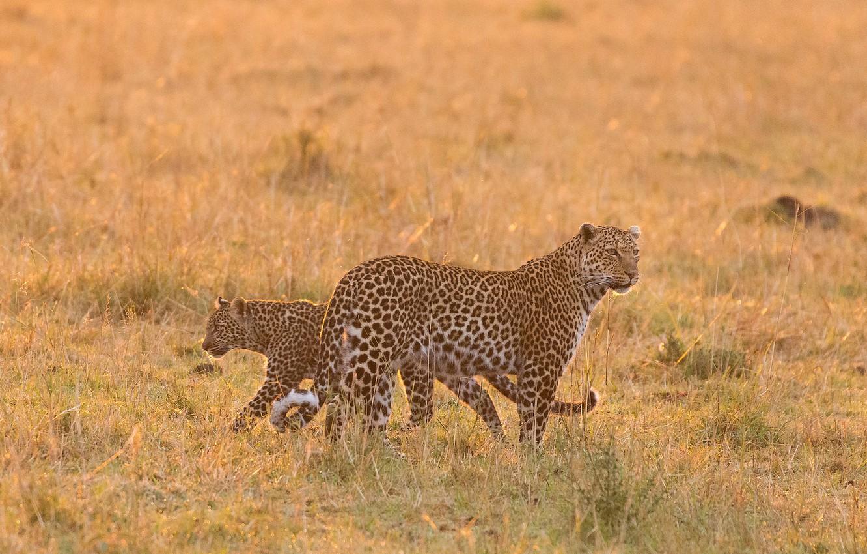 Фото обои саванна, Африка, дикие кошки, леопарды