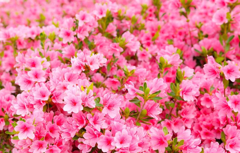 Фото обои цветы, весна, розовые, цветение, pink, blossom, spring, азалия, bloom