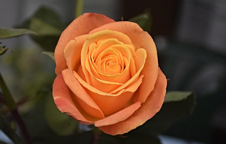 Фото обои Роза, Rose, Orange rose, Оранжевая роза