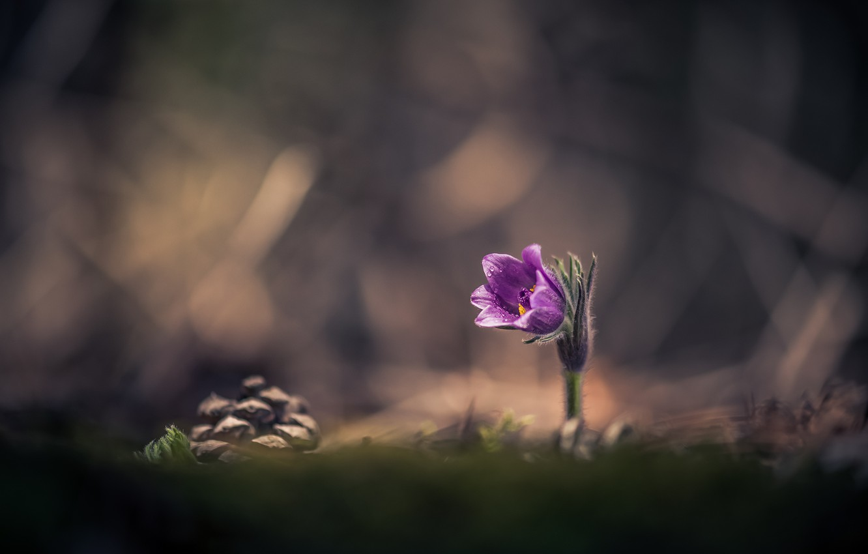 Обои сон великий, первоцвет, Весна, цветок. Цветы foto 13