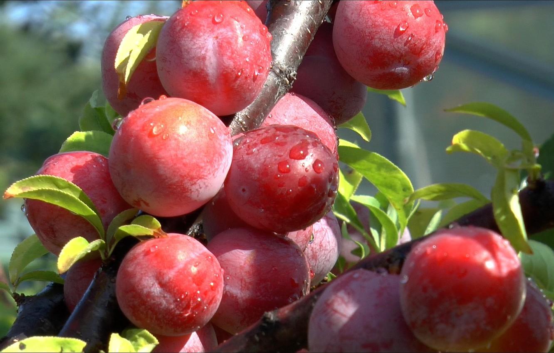 Фото обои лето, фрукты, сливы