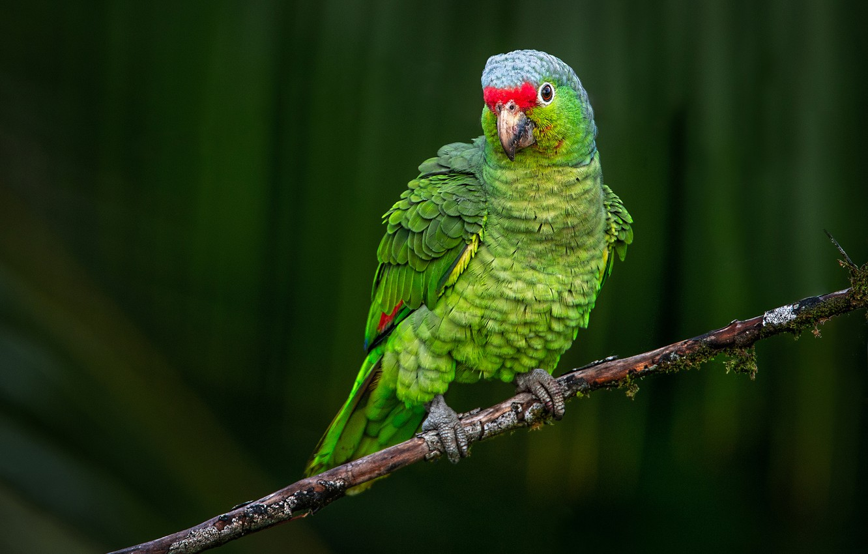 Фото обои фон, птица, ветка, попугай, Краснолобый амазон