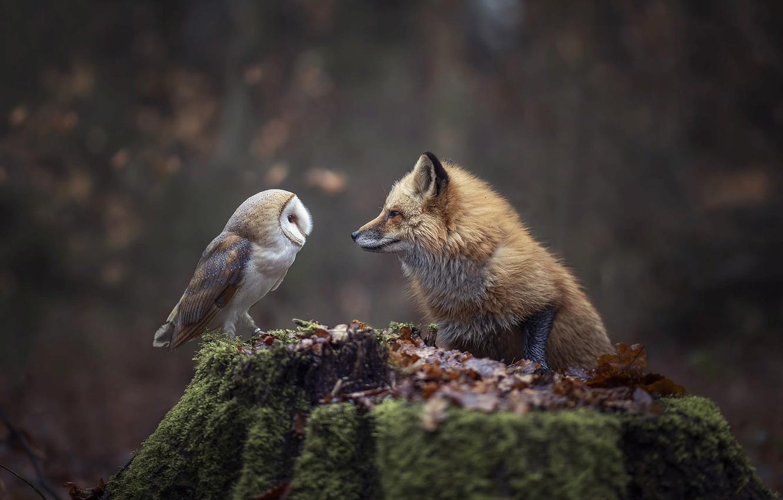 Фото совы и лисы высокого качества