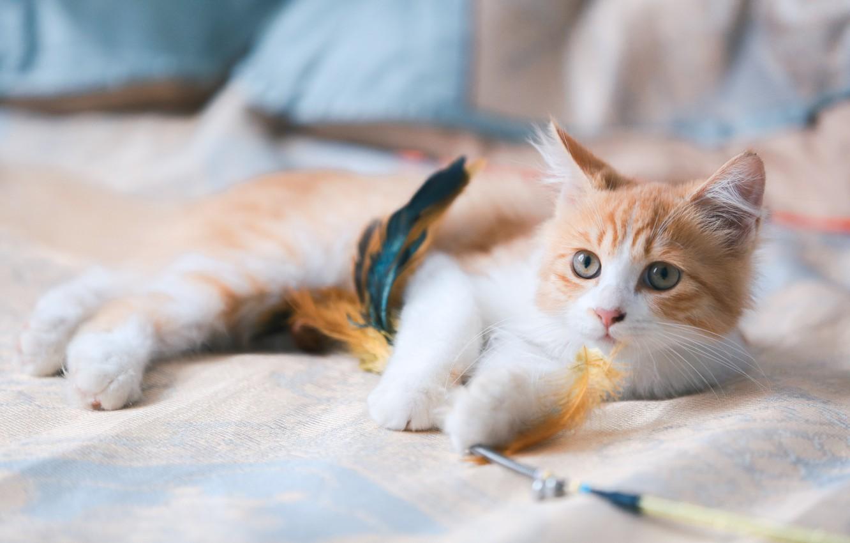 Фото обои кошка, взгляд, перья, мордочка, котейка