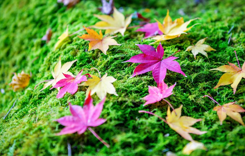 Фото обои осень, трава, листья, фон, colorful, grass, клен, autumn, leaves, maple