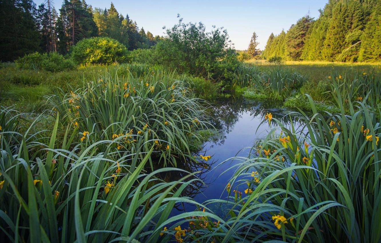 Фото обои трава, листья, цветы, озеро, пруд, берег, желтые, ирисы, водоем