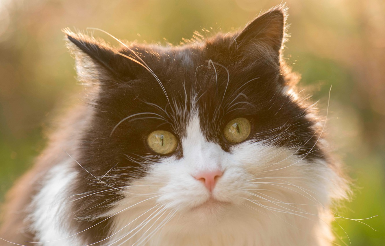 Фото обои кошка, взгляд, мордочка, пушистая