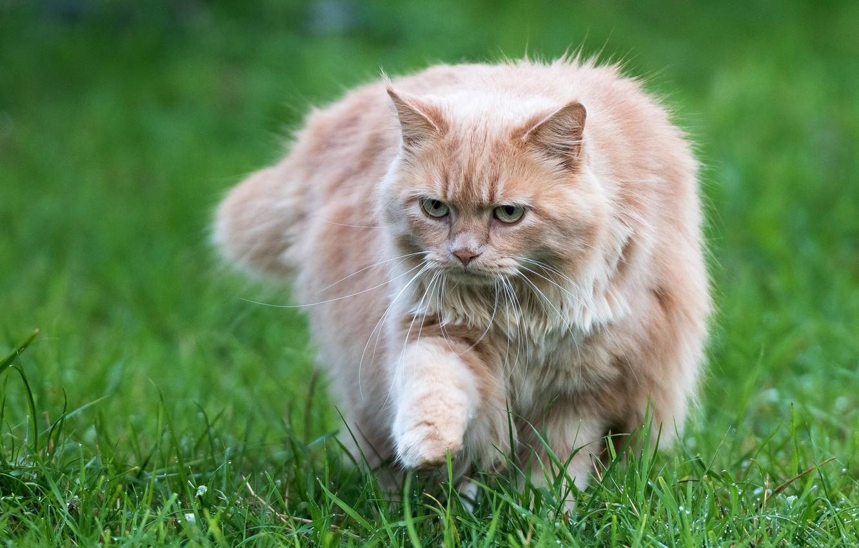 Обои котёнок, прогулка, пушистый. Кошки foto 14