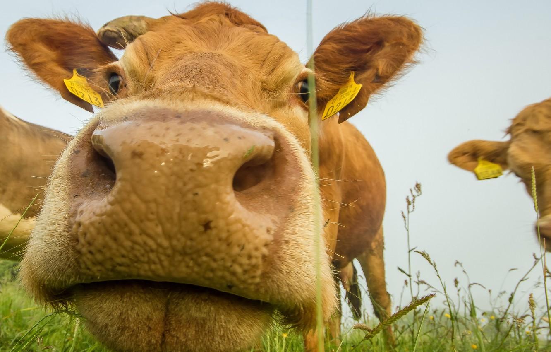 Фото обои морда, корова, скот
