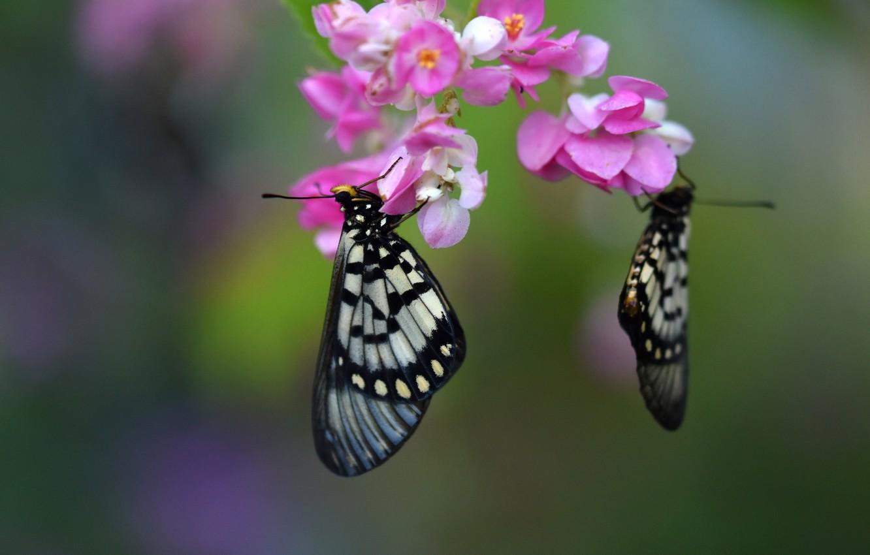 Фото обои макро, бабочки, цветы, фон, пара