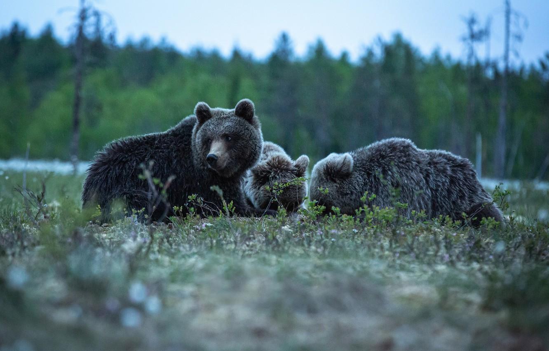 Фото обои медведи, троица, три медведя
