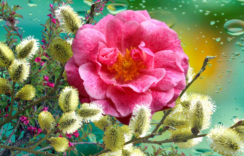 Фото обои Цветы, РОЗА, Верба, праздник Весны