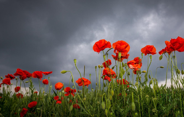Фото обои лето, цветы, маки