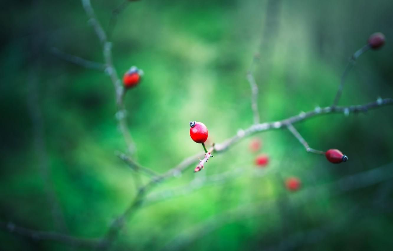 Фото обои макро, природа, ягоды, ветка, шиповник, красные