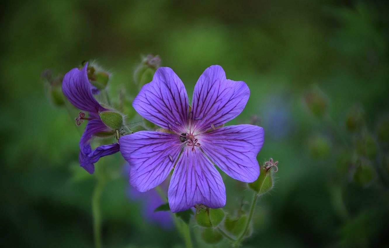 Фото обои Цветочки, Flowers, Фиолетовые цветы, Purple flowers