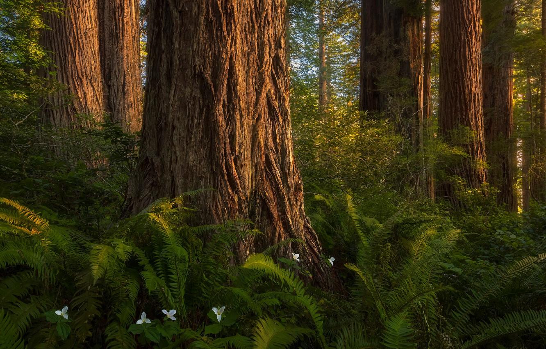 Фото обои лес, дерево, папоротники