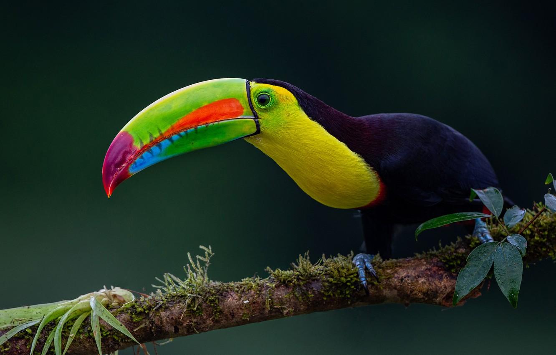 Фото обои фон, птица, ветка, клюв, тукан, Радужный тукан