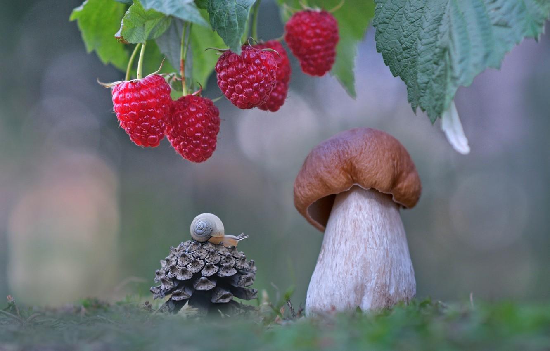 Фото обои макро, ягоды, малина, гриб, улитка, шишка, боровик, Александр Гвоздь