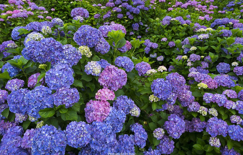 Фото обои цветение, кусты, гортензия