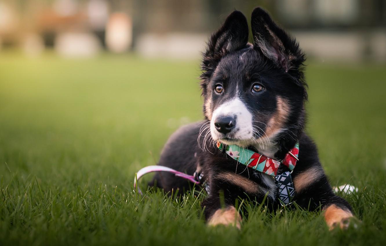Фото обои трава, собака, щенок, поводок, модашка